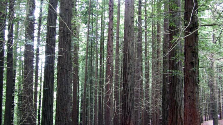 Descubriendo un bosque de secuoyas